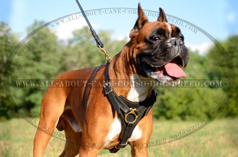 Tracking Pulling Boxer Breed Adjustable Padded Leather