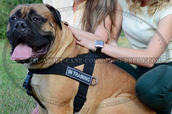 Most Durable Nylon Dog Hareness for Bullmastiffs