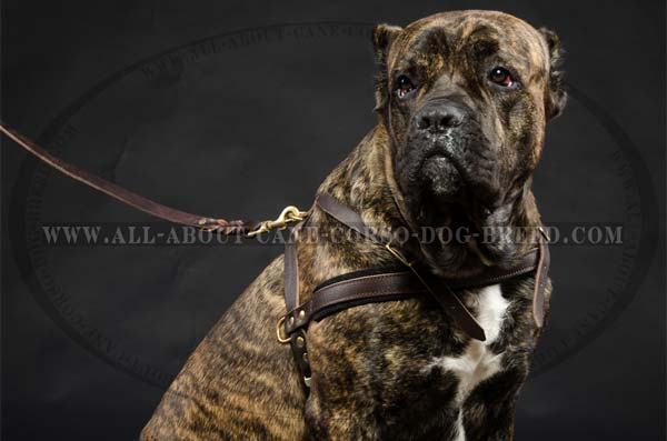 Reliable Leather Cane Corso Harness