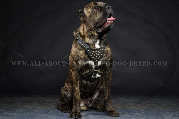 Cane Corso Leather dog harness with brass studs adornment