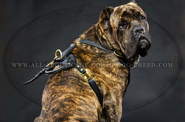 Cane Corso breed leather dog harness for agitation training