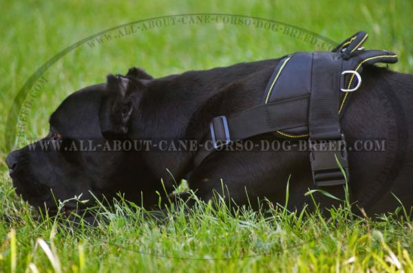 Cane Corso likes nylon dog harness