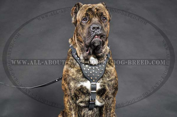Cane Corso leather dog harness for walking in style
