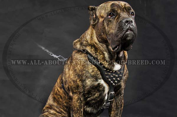 Spiked Leather Canine Harness for Cane Corso