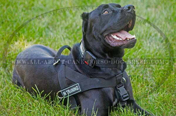 SAR Nylon Canine Harness for Cane Corso