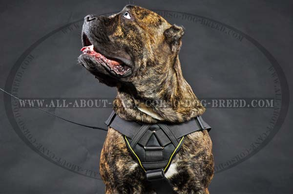 Cane Corso nylon collar with soft chest plate