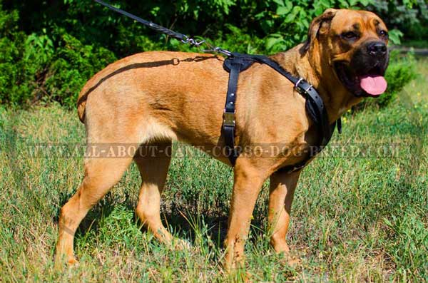 Durable Cane Corso Harness for Attack Work