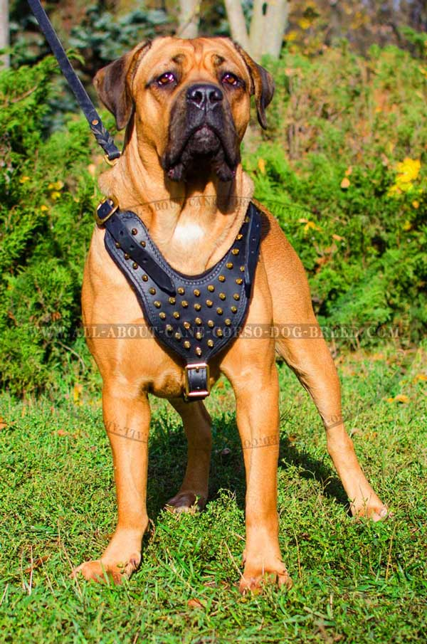 Cane Corso Leather Harness with Brass Spikes
