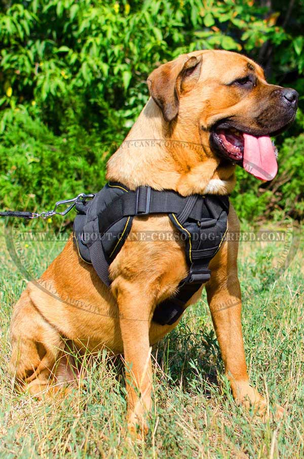 Reliable Tracking Harness for Cane Corso