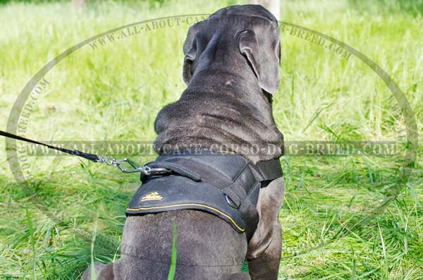 Excellent Canine Harness for Mastino Napoletanos's  Pulling/Tracking Work
