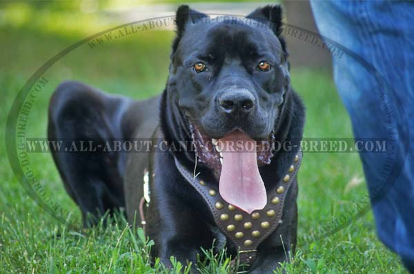 Fashion Leather Canine Harness for Cane Corso