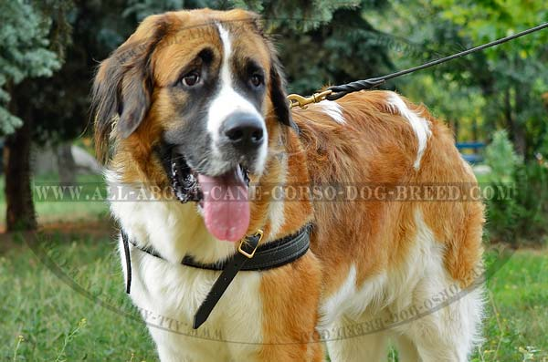 Top Notch Leather Pulling Dog Harness for Moscow  Watchdog