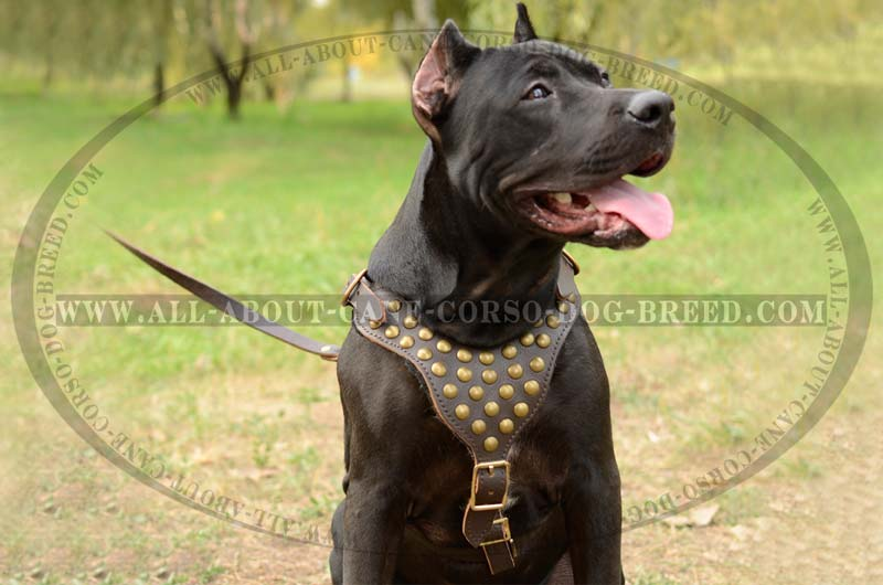 Exquisite Leather Dog Harness with Goldish Studs for Pitbulls : Pet