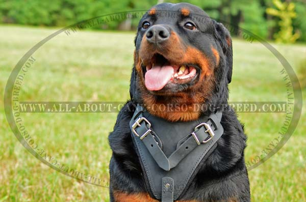 Attack/Agitation Leather Rottweiler Dog Harness