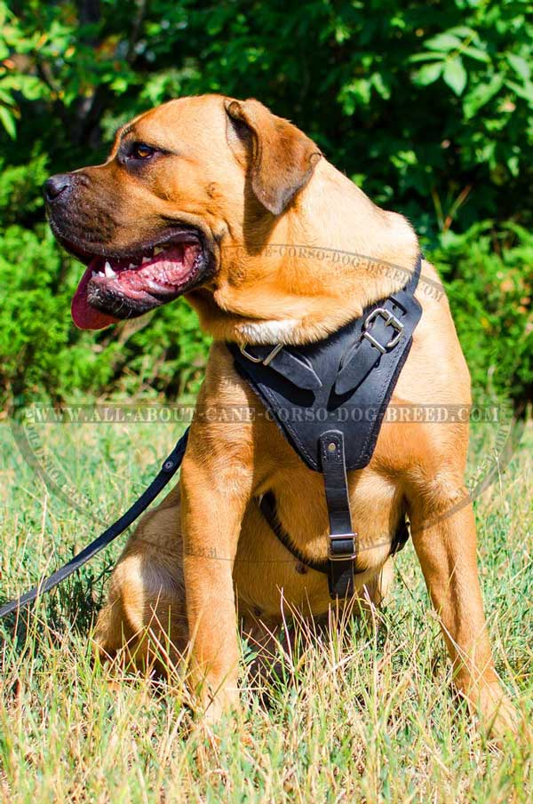 Cane Corso Harness Leather with Padded Chest and Back Plates