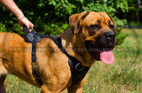 Dog Leather Harness with Handle for Controlling Cane Corso