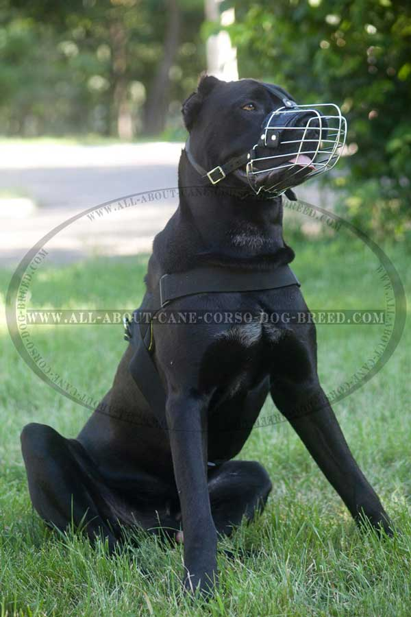 Everyday Cane Corso Harness Ideal for Dog Walking