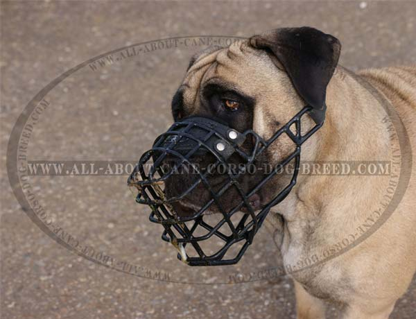 Walking Cane Corso Muzzle with Black Rubber