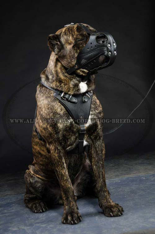 Cane Corso breed heavy duty leather dog muzzle