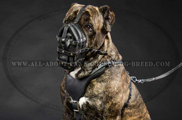 Cane Corso leather dog muzzle basket like design