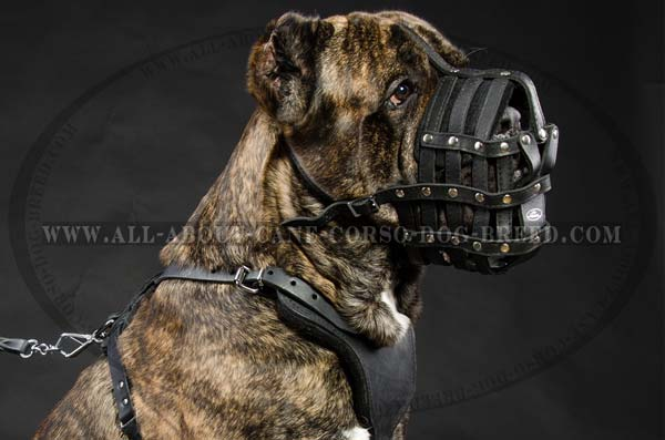 Cane Corso leather dog muzzle with perfectly ventilated design