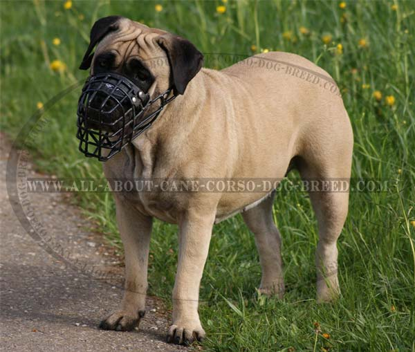Walking Cane Corso Harness