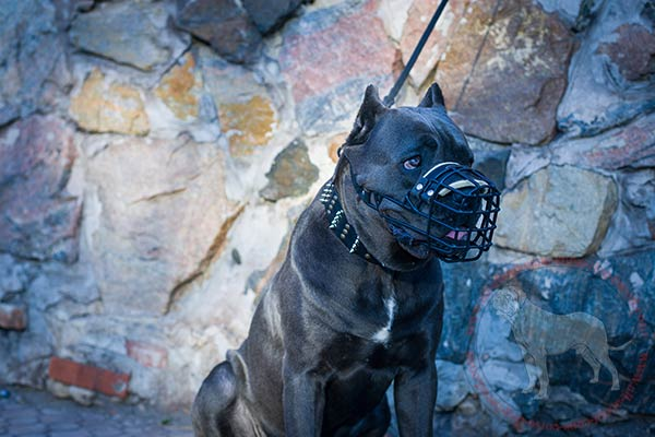 Rubber covered metal dog muzzle for Cane Corso winter walking