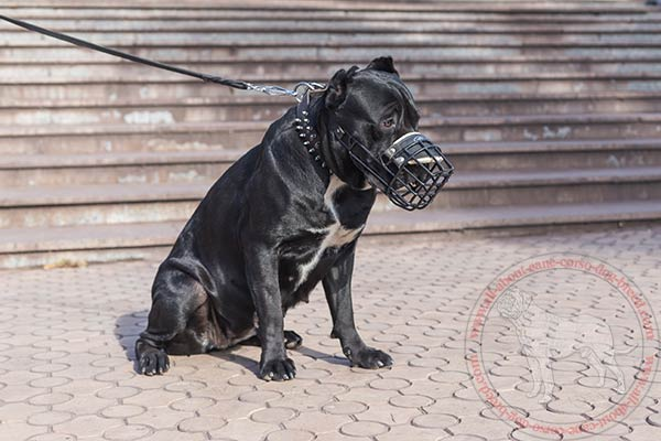 Rubber covered metal dog muzzle for Cane Corso walks