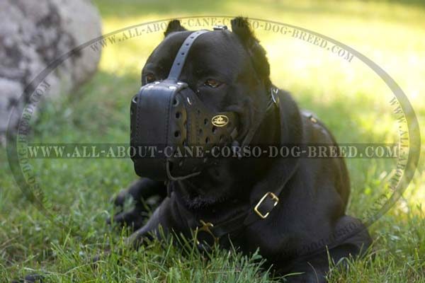 Training Dog Muzzle for Cane Corso