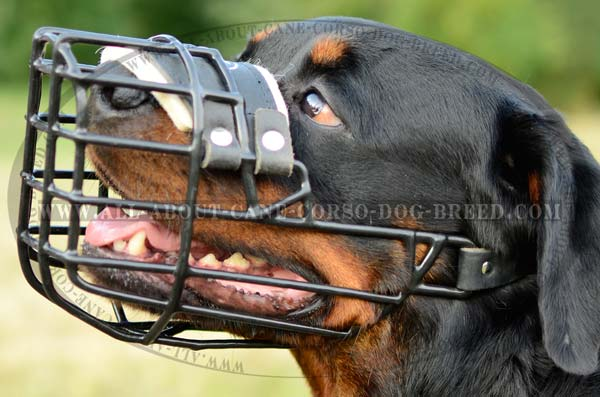 Walking Rottweiler Dog Wire Muzzle