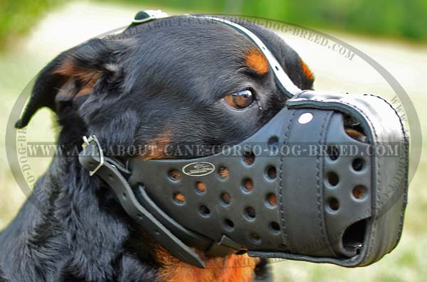 Training Rottweiler Dog Muzzle