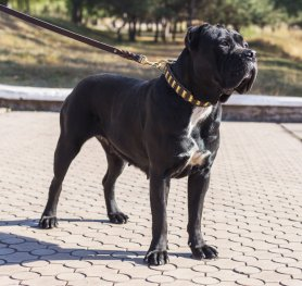 From the History of Cane Corso Breed